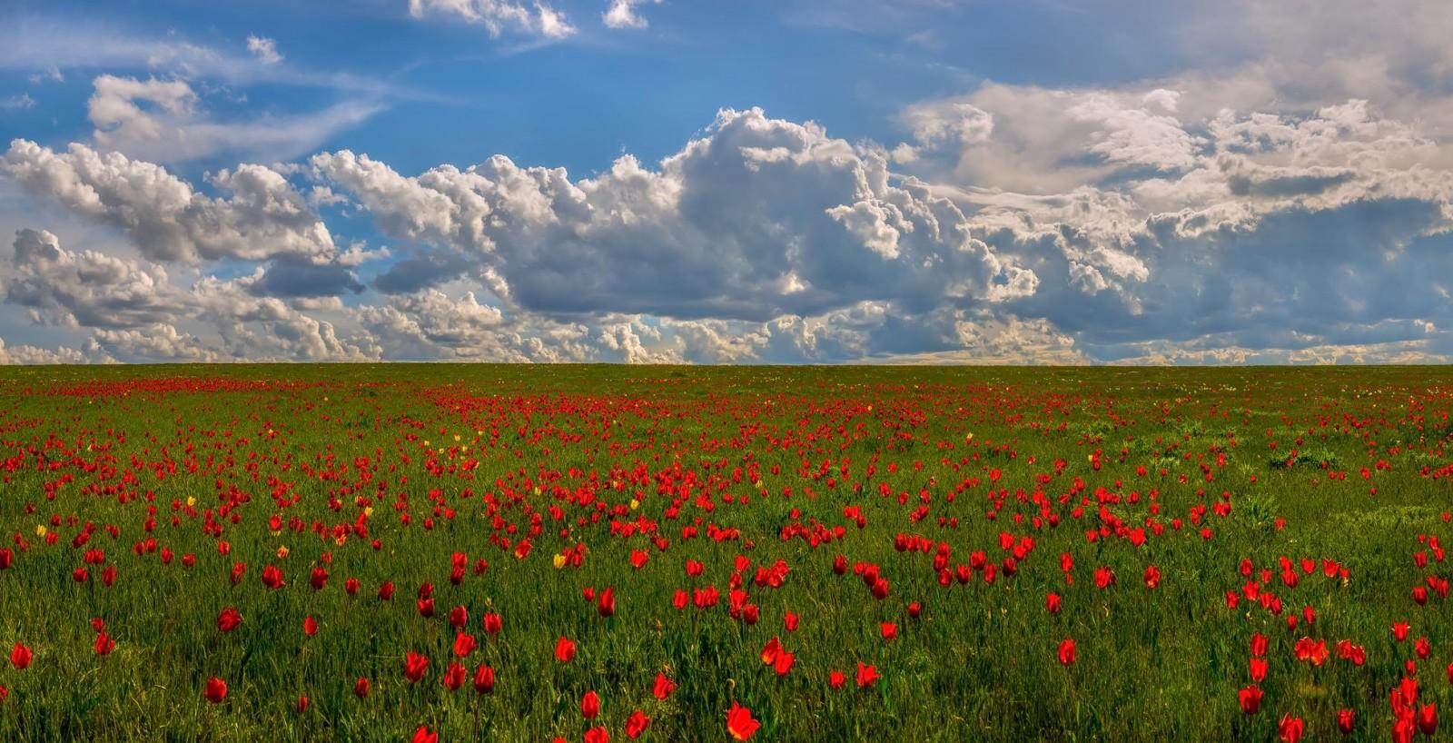 Фестиваль тюльпанов – главная задача сохранить краснокнижные цветы