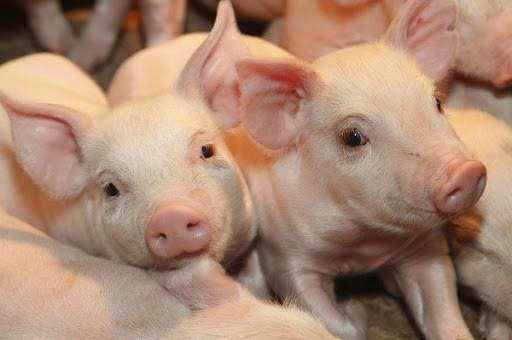 Вступили в силу новые ветеринарные правила по содержанию скота